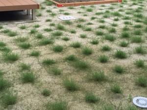 芝生の成長1